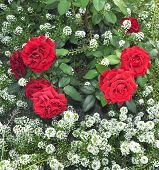 a bush of red roses on a background of white flowers