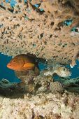 Coral Grouper and Yellowpotted Burrfish