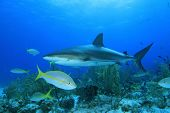 Yellowtail Snapper and Caribbean Reef Shark
