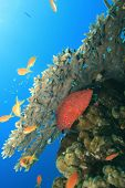 Coral Grouper under Acropora Table Coral poster