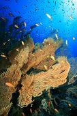 image of molly  - Gorgonian Fan Coral  - JPG
