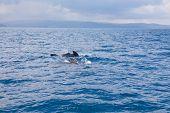 Herd Of Pilot Whales Swimming In Atlantic Ocean poster