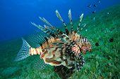 stock photo of damselfish  - Lionfish hunts for Damselfish - JPG