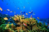 stock photo of water cabbage  - Coral Reef and Tropical Fish with Scuba Divers in the background - JPG