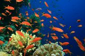 image of coral reefs  - Lyretail Anthias on coral reef - JPG