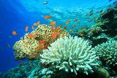 stock photo of fire coral  - Coral Reef with Acropora and Fire corals - JPG
