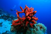Red Finger Sponge with Scuba Diver in background