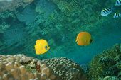 Masked Butterflyfish (Chaetodon semilarvatus) on a shallow coral reef
