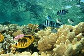 Red Sea Raccoon Butterflyfish (Chaetodon fasciatus)  and Scissortail Sergeants (Abudefduf sexfasciatus)