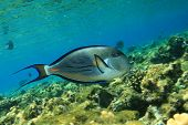 Sohal Surgeonfish (Acanthurus sohal)