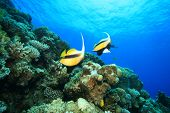 stock photo of coral reefs  - Red Sea Bannerfish on a coral reef - JPG