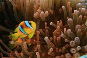Nemo (Red Sea Anemonefish in Fluorescent Red Anemone)