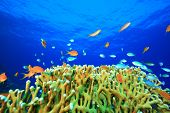 foto of damselfish  - Beautiful Coral Reef with Anthias and Damselfishes - JPG