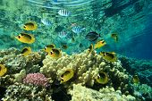 image of sergeant major  - Tropical Fish and Coral Reef - JPG