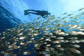 School of Fish (Glassfish) and Scuba Diver