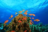 Underwater image of Lyretail Anthias Fish and Coral Reef