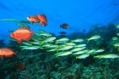 foto of bigeye  - School of Yellowfin Goatfish and Bigeye fish on a tropical coral reef - JPG