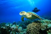 stock photo of hawksbill turtle  - Female Scuba Diver takes a photograph of a Hawksbill Sea Turtle swimming over a coral reef - JPG