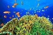 stock photo of damselfish  - Lyretail Anthias and Damselfish on hard coral in clear blue water - JPG