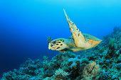 Hawksbill Sea turtle (Eretmochelys imbricata) swims over coral reef
