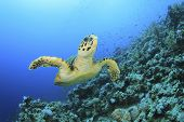 Hawksbill Sea Turtle (Eretmochelys imbricata) fins over coral reef in blue sea