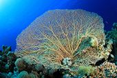 stock photo of molly  - Giant Sea Fan Coral  - JPG
