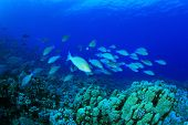 Large school of Longnose Parrotfish (Hipposcarus harid) swim over a coral reef during spawning seaso