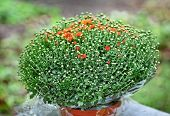 Red chrysanthemum bush in flowerpot with water drops on leafs, outdoor