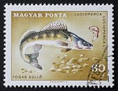 HUNGARY - CIRCA 1967: a stamp printed in Hungary shows illustration of Zander - Sander Lucioperca - an european species of freshwater fish from the family Percidae. Hungary, circa 1967