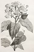 Old illustration of Achiote (Bixa Orellana), the source of natural pigment annatto, produced from th