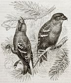 Old illustration of Two-barred Crossbill (Loxya leucoptera). Created by Kretschmer and Wenot, publis