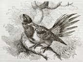 Old illustration of Eastern Rosella (Platycercus eximius). Created by Kretschmer and Schmid, publish