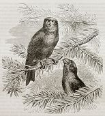 image of crossbill  - Old illustration of Parrot Crossbill  - JPG