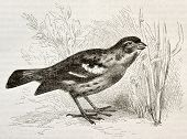Old illustration of Rufous-tailed Plantcutter (Phytotoma rara). Created by Kretschmer and Wendt, pub