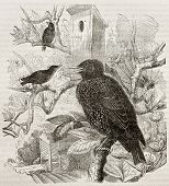 Old illustration of Common Starling (Sturnus vulgaris). Created by Kretschmer and Jahrmargt, publish