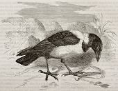 Old illustration of Pied Crow (Corvus albus). Created by Kretschmer, published on Merveilles de la N