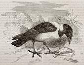 Vieja ilustración de Pied Crow (Corvus albus). Creado por Kretschmer, Appendix Merveilles de la N