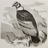 Old illustration of Andean Condor (Vultur gryphus). Created by Kretschmer and Jahrmargt, published o