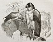 Old illustration of California Condor (Gymnogyps californianus). Created by Kretschmer and Jahrmargt