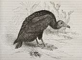 Old illustration of Turkey Vulture (Cathartes aura). Created by Kretschmer and Illner, published on