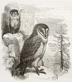Barn Owl old illustration (Tyto alba). Created by Kretschmer and Jahrmargt, published on Merveilles