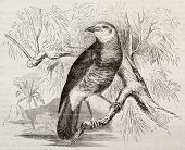 White-rumped Bubbler old illustration (Turdoides leucopygia). Created by Kretschmer and Wendt, publi