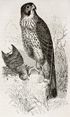 Common Kestrel old illustration (Falco tinnunculus). Created by Kretschmer and Wendt, published on Merveilles de la Nature, Bailliere et fils, Paris, 1878