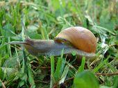Roman Snail (Helix Pomatia)