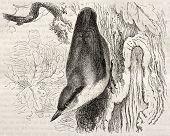 Eurasian Nuthatch old illustration (Sitta europaea). Created by Kretschmer and Jahrmargt, published on Merveilles de la Nature, Bailliere et fils, Paris, ca. 1878