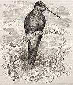 Gigante (Patagona gigas) de la vieja ilustración del colibrí.  Creado por Kretschmer y Jahrmargt, publicado