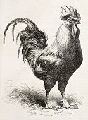 stock photo of dork  - Dorking chicken old illustration - JPG
