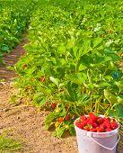 A strawberry farm in Vancouver, Canada.