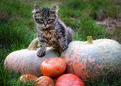 Little Cat Is Sitting On A Pumpkin. Kitten In The Autumn Garden. Cat And Pumpkin poster