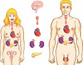 foto of endocrine  - Vector color medical illustration of endocrine system - JPG